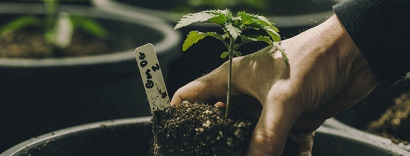 Top 4 Cannabis Strains That Are Easy to Grow Indoors